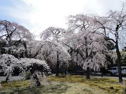 Sakura (cherry) trees - Palace grounds, Krishnan Vaitheeswaran - April 2010