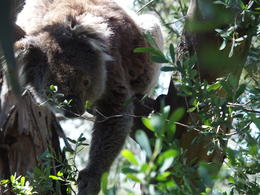 Koala bear in the wild , Edrie M - November 2016