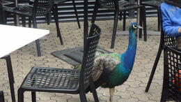 Peacock roaming freely in the Café where we had lunch. , Ann S - May 2014