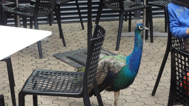 Peacock looking for a few crumbs! - Sydney