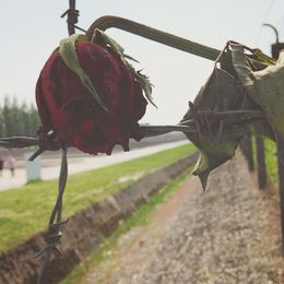 Roses interlaced with the barbed wire in the gate that leads to the gas chamber. , Caitlin B - May 2015
