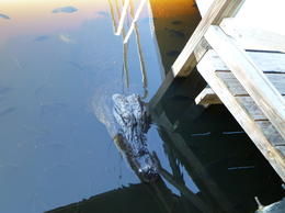 Found an alligator resting in the lagoon. , george - October 2013