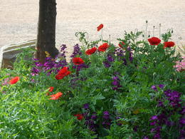 poppies in Alcazar Gardens , clio_selene - April 2012
