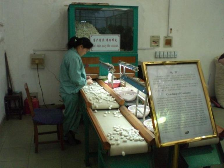 Sorting silk cocoons at #1 Silk Factory in Suzhou - Shanghai