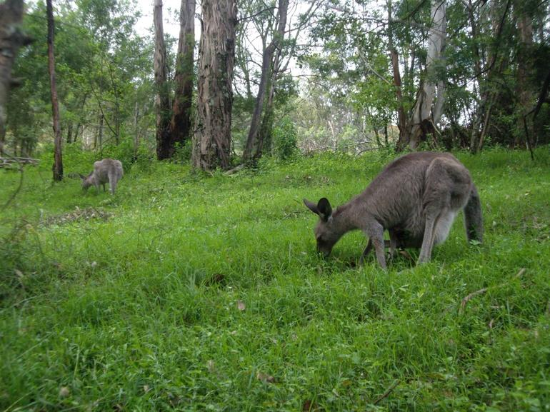 Blue Mountain National Park - Kangaroo - Sydney