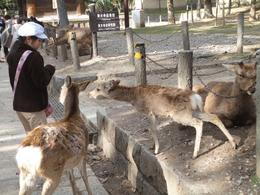 Wondrous deer (Deer Park - Todaiji Temple), Krishnan Vaitheeswaran - April 2010