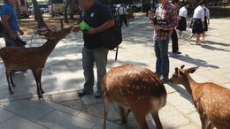 This is me, feeding some four-legged Todaiji residents. You can buy deer biscuits for JPY 150 per pack. The food can go quickly, though, as the deer can get aggressive if hungry. At one point, I ... , Gerald B - June 2016