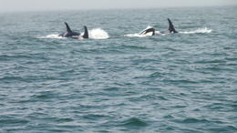 Followed a pod of killer whales for about 30 minutes , Herman B T - September 2016