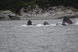 Whales bubble net feeding in Juneau, Alska , Robert W - July 2014