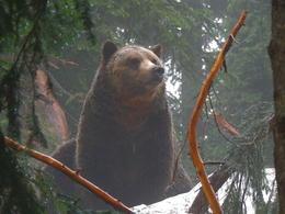 Bear on Grouse Mountain. , Kevin F - September 2017
