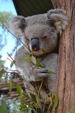 Koala , Maura H - November 2014