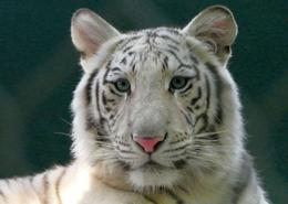This little tiger was so beautiful and adorable to watch, , Heleen W - October 2016