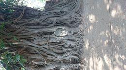 Testa del Buddha in albero di banyan , lorenzo b - June 2016