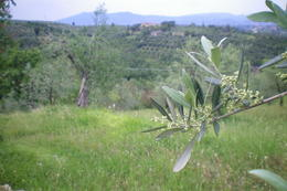 This is a place we stopped at on our way back. That is an olive tree branch. , Michelle C - June 2012