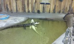 Inside you can see the Albino Gator , karenalex67 - August 2016