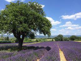 To tell you that these lavender fields are incredible is just obvious, but when you see them in person it is so stunning and relaxing. The hum of bees buzzing and the wind blowing is just awesome. ... , irishgal76 - July 2014