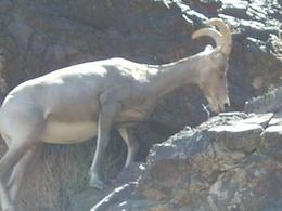 Lots of sure-footed Nevada Big-Horn Sheep , IRVINE - September 2011