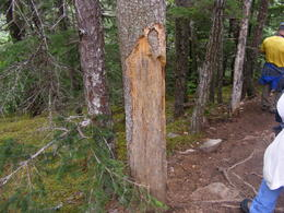 This was tree that was nearly ravished by a porcupine. , eyesonchrist - July 2014
