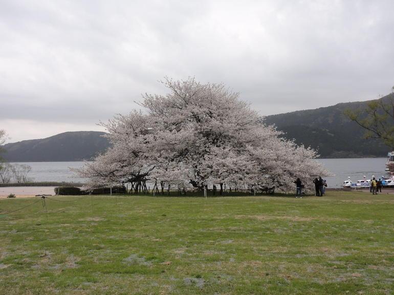 100 yr old cherry blossom tree Hanoke - Tokyo