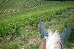This was one of the views while we were riding through the vineyard. I made sure I got my horse's ears in the pic. :) , Michelle C - June 2012