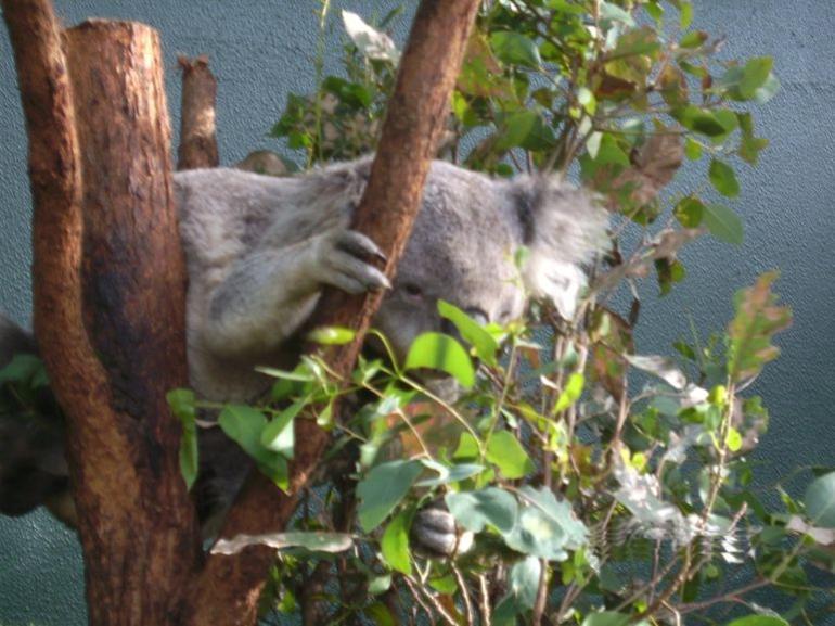 Cute Koala - Sydney