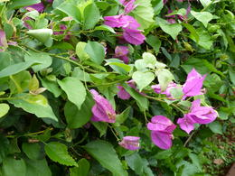 Bougainvillea, JennyC - January 2011