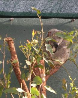 Koalas sleep for 16 hours a day. The perfect beast! - August 2008