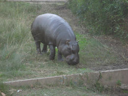 Okay, not really sure what this was. The sign said it was some sort of land hippo., Bandit - June 2012