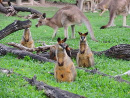 Kangaroos at the Lone Pine Koala Sanctuary. , Kevin F - June 2014