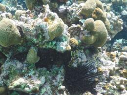 spiney urchin and coral , David H - September 2014