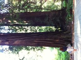 Big Tree in Muir Woods , lela d - July 2014