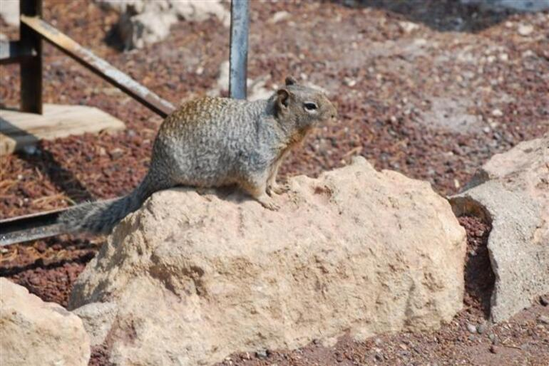 Grand Canyon Wildlife - Las Vegas