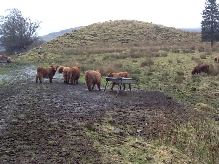 Shaggy Higland Cows - Edinburgh