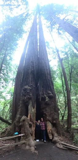 Muir Woods photo tip: use the panorama feature on your iPhone vertically. , Jamie P - April 2016