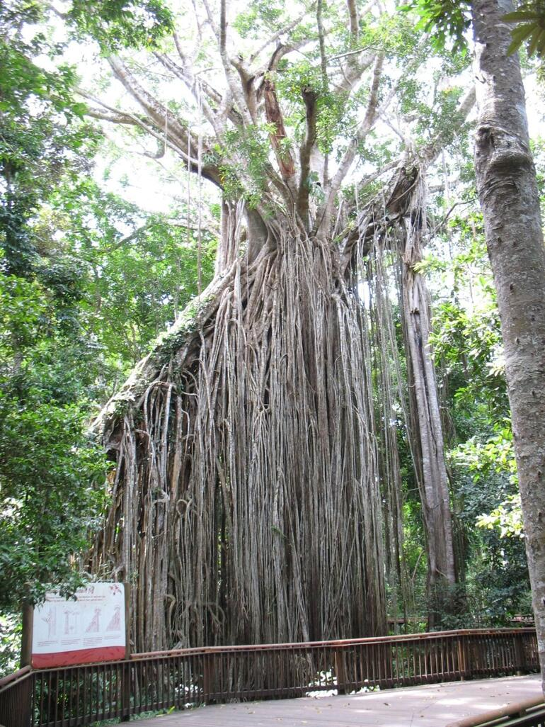 Cairns Fig Tree - Cairns & the Tropical North