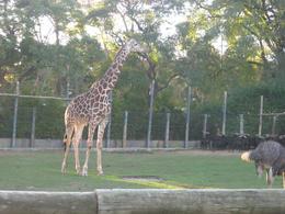 Giraffe!, Bandit - June 2012