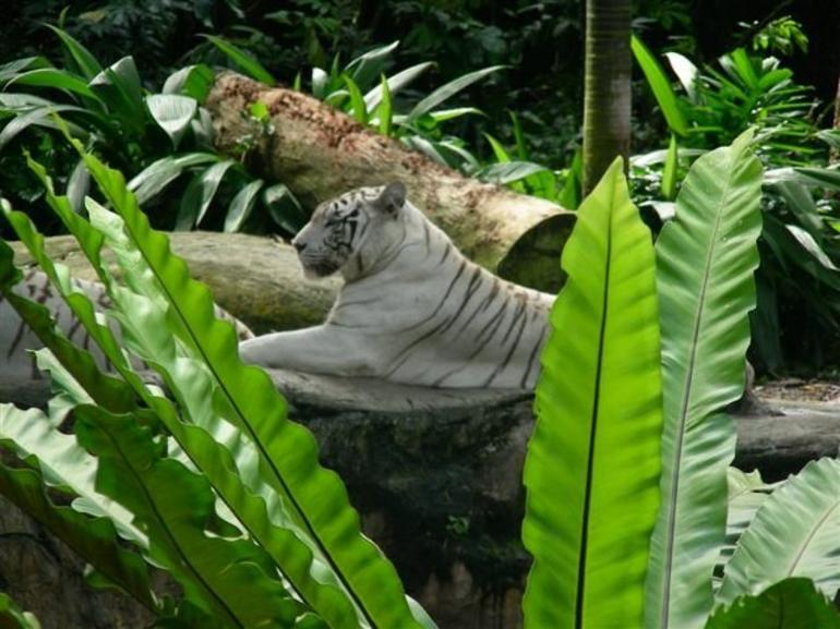 Majestic white tiger - Singapore