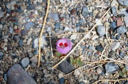 Nice to see the 5 Spot Flower in bloom - but taking a shot with 50 knot winds was rough! , Todd K - May 2011