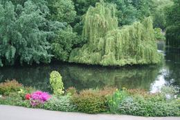 Beautiful Weeping Willow - July 2010