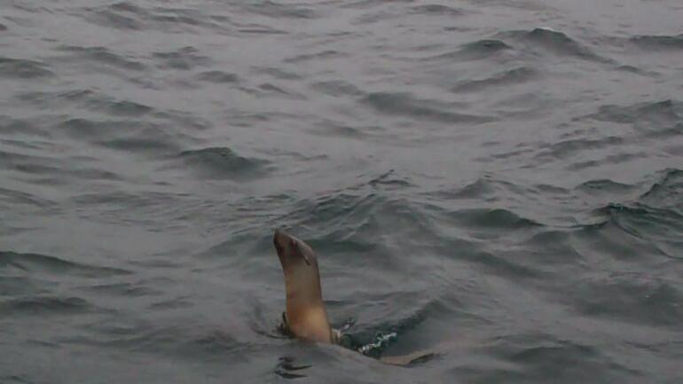 Sea Lion - San Francisco