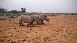 Young rhino - May 2016