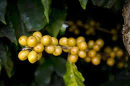 coffee beans , LUZCEL T - January 2017
