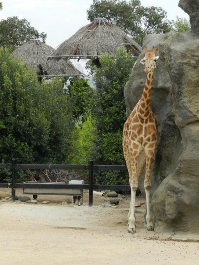 Giraffe, Taronga Zoo - Sydney