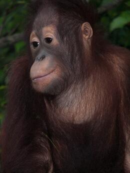 Orangutan baby, Susan A - July 2010