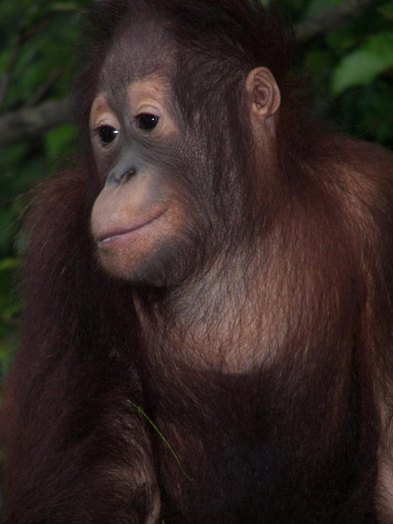 Orangutan - Singapore