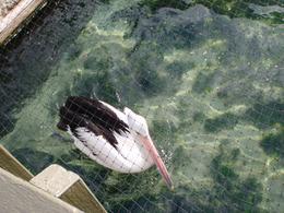 Pelican, eva_afta - November 2010