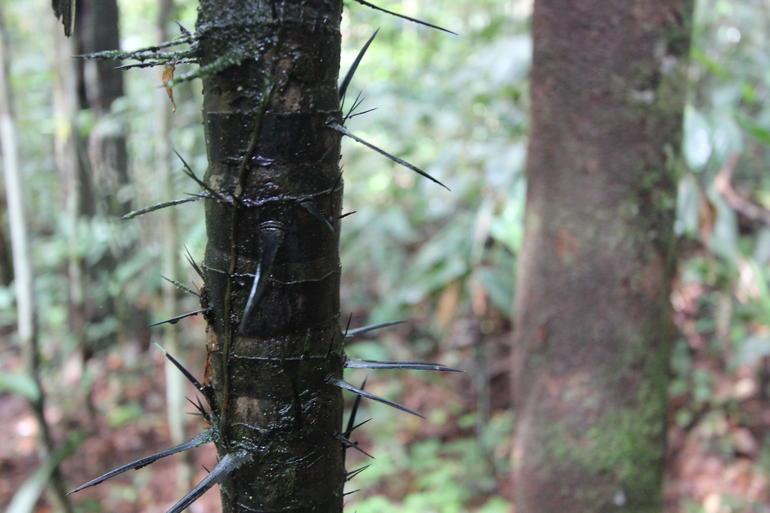 Spiky Tree - Manaus