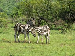 Zebra at Pilanesberg - January 2010
