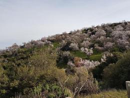 Blossoming almond gardens at Hosios Loukas monastery , Ramune M - February 2018