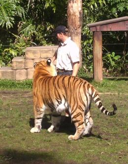 Tigers are solitary creatures and are assigned one trainer, who typically raises and trains the tiger from birth. - August 2008